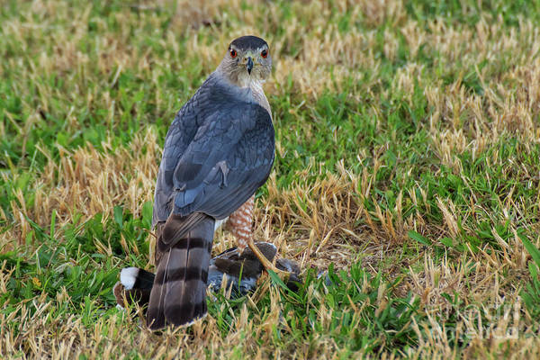 Photograph - Cooper's Hawk #2 by Richard Smith