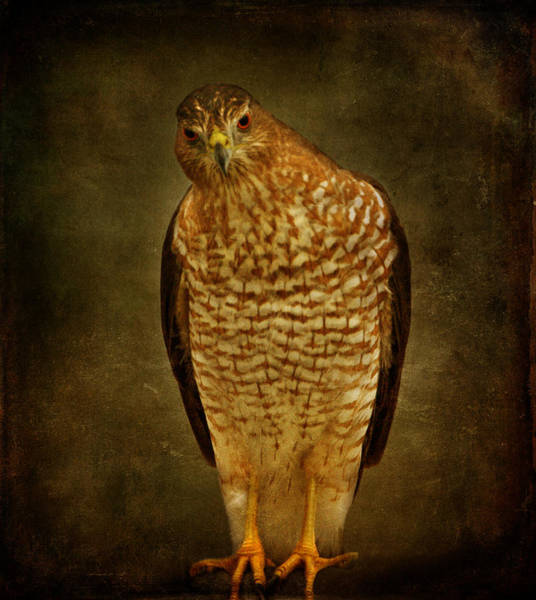 Photograph - Coopers Hawk by Sandy Keeton