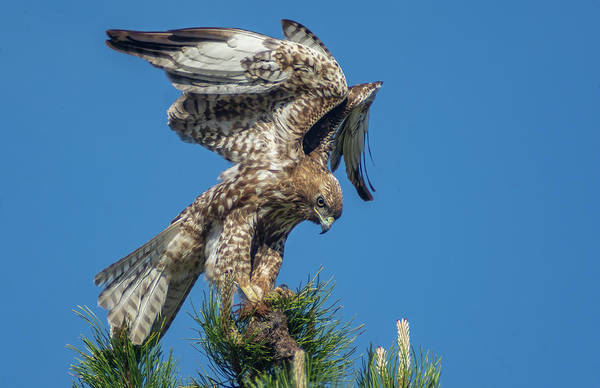 Photograph - Red Tailed Hawk With Prey 1 by Rick Mosher