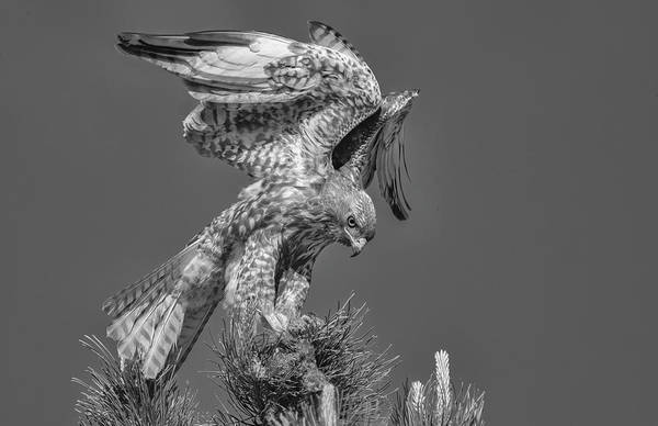 Photograph - Red Tailed Hawk With Prey Bw1 by Rick Mosher