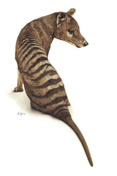 Carnivorous Drawing - 'coorinna' Thylacine by Fyona Storer