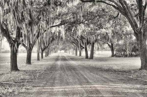 Coosaw Plantation Avenue Of Oaks Art Print