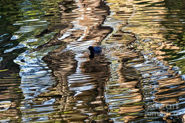 Photograph - Coot Reflections by Kate Brown