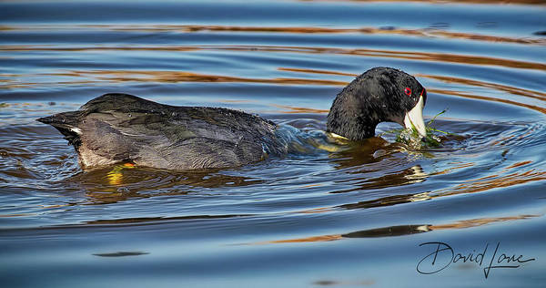 Photograph - Coot Rings by David A Lane