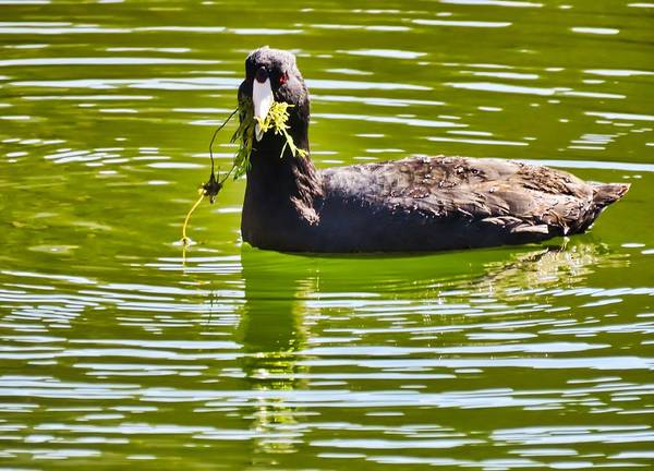 Photograph - Coot Snacking At The Arboretum by Judy Kennedy
