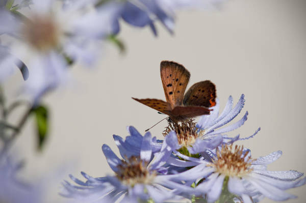 Photograph - Copper Butterfly On Aster by Robert Potts