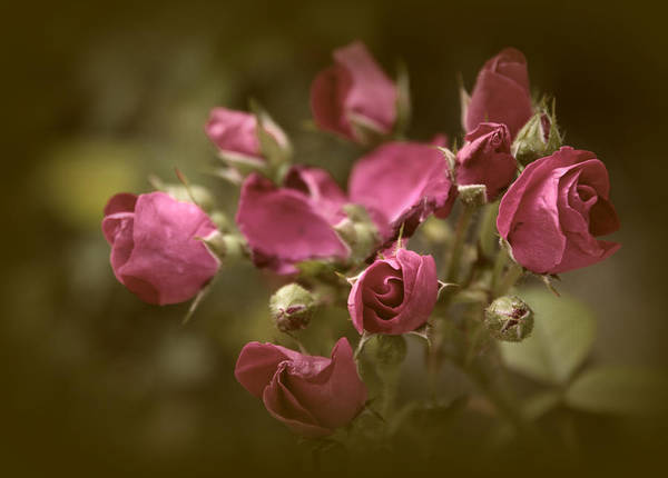 Photograph - Copper Petals by Jessica Jenney