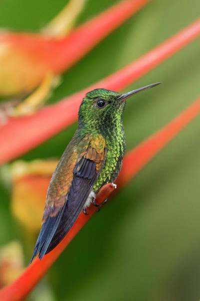 Photograph - Copper Rumped Hummingbird by Rachel Lee Young