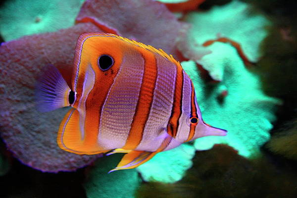 Nfs Photograph - Copperband Butterflyfish by Daniel Caracappa