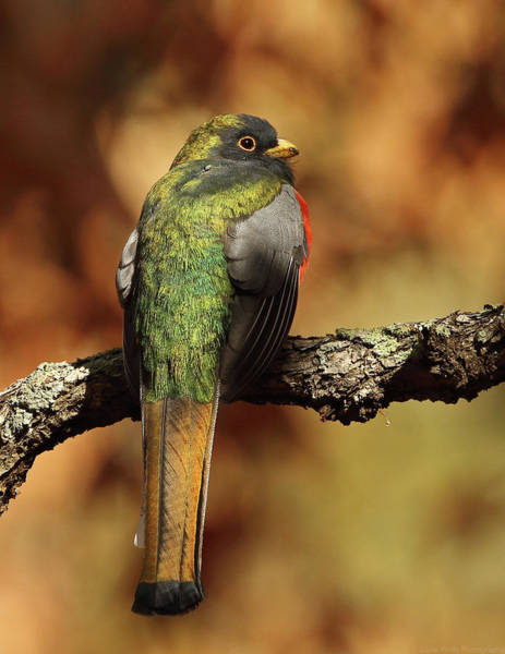 Photograph - A Coppery-tailed Elegant Trogon by Steve Wolfe