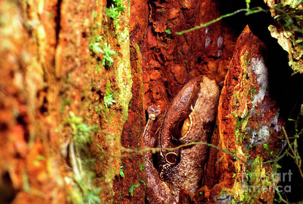 Photograph - Coqui In Tree Bark by Thomas R Fletcher