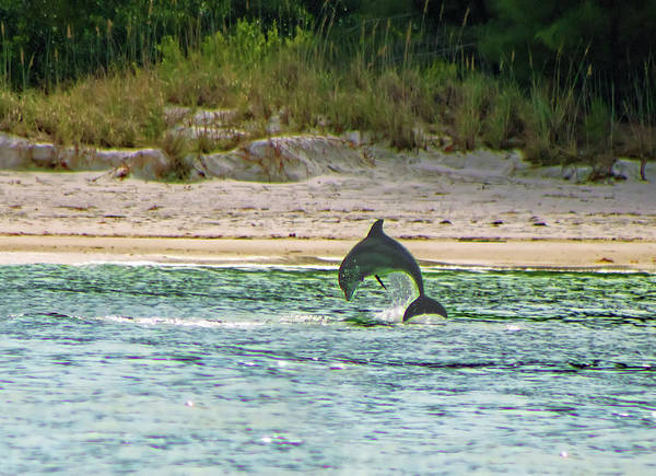 Photograph - Coquina Dolphin by Karl Ford