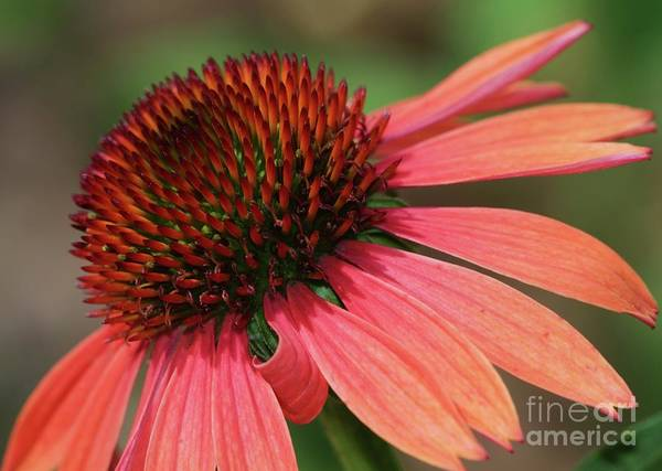 Photograph - Coral Cone Flower by Sabrina L Ryan