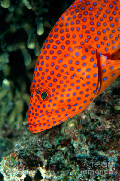Half Life Photograph - Coral Grouper by Dave Fleetham - Printscapes