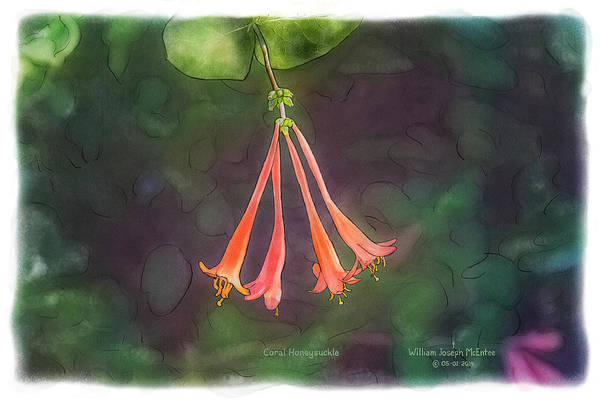 Painting - Coral Honeysuckle by Bill McEntee