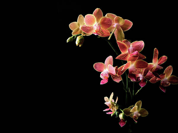 Photograph - Coral Pink Moth Orchid by Susan Maxwell Schmidt