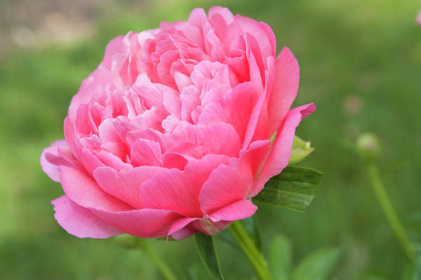 Photograph - Coral Sunset 1 . Beauty Of Peony Flowers by Jenny Rainbow