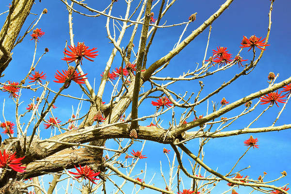 Photograph - Coral Tree by Alison Frank