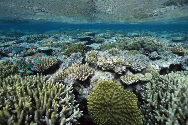 Photograph - Corals Shallows Great Barrier Reef by Flip Nicklin
