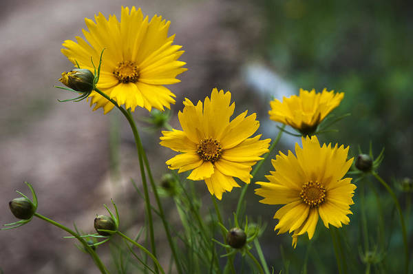 Photograph - Coreopsis In Bloom by Robert Potts