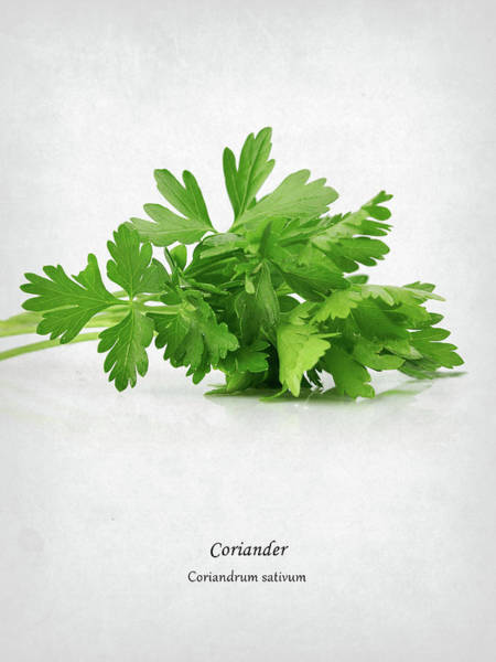 Wall Art - Photograph - Coriander by Mark Rogan