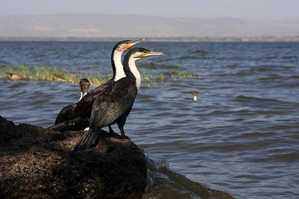 Photograph - Great Rift Cormorants by Aidan Moran