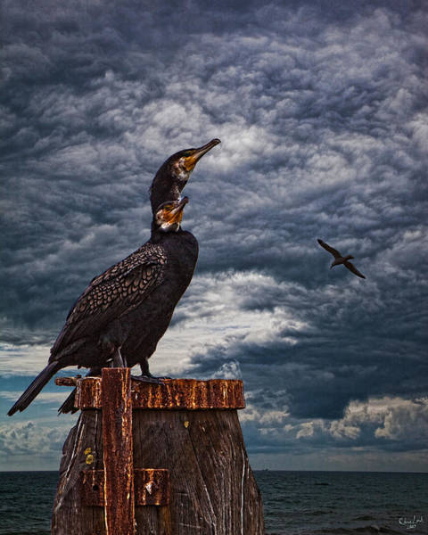 Photograph - Cormorant Couple by Chris Lord