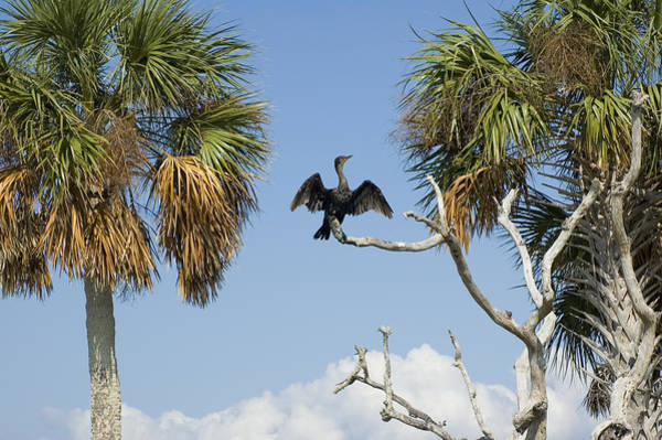 Cedar Key Photograph - Cormorant Drying by Stacey Lynn Payne