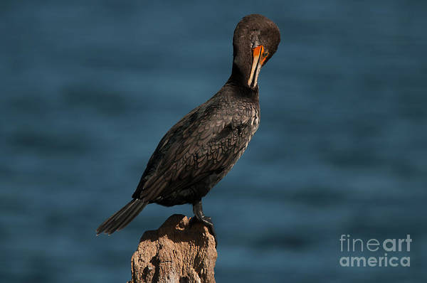 Photograph - Cormorant Preening by Photos By Cassandra