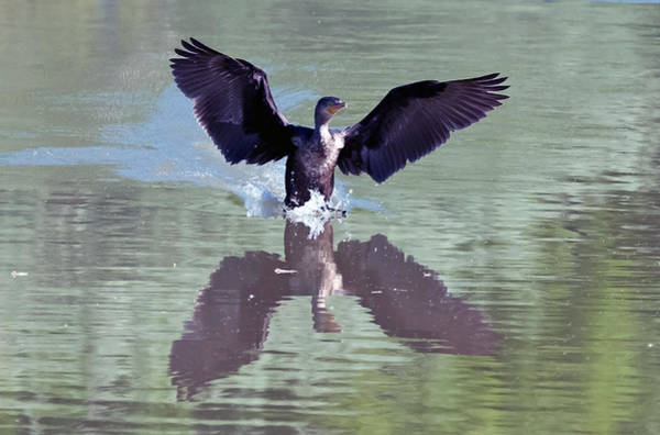 Photograph - Cormorant Reflection by Tam Ryan