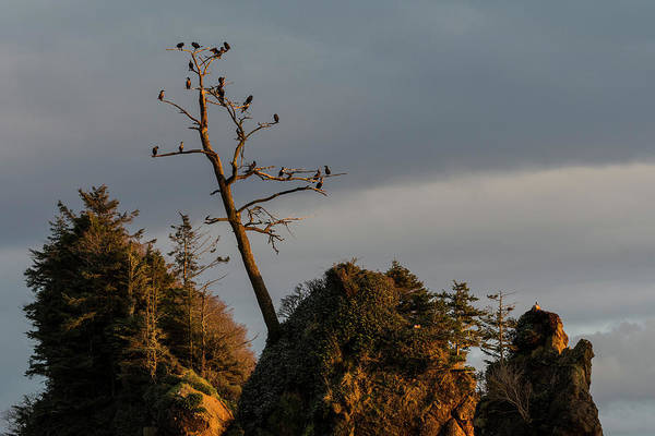 Photograph - Cormorant Roost by Robert Potts
