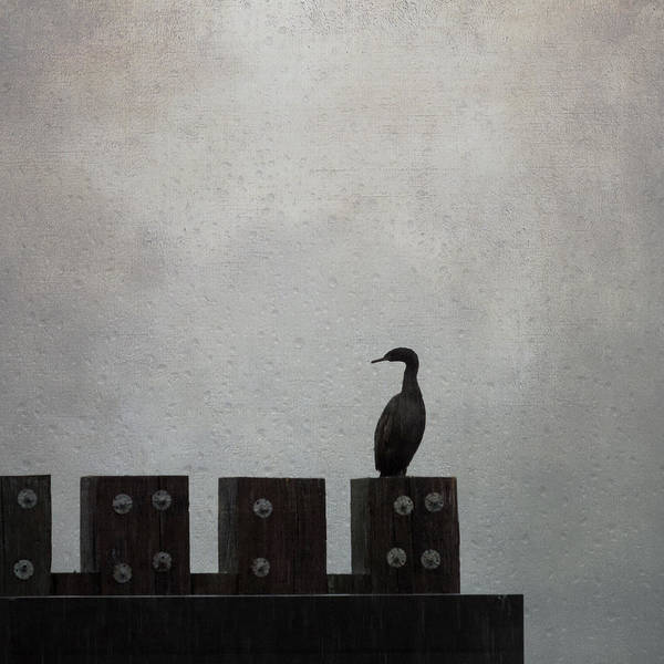 Photograph - Cormorant  by Sally Banfill