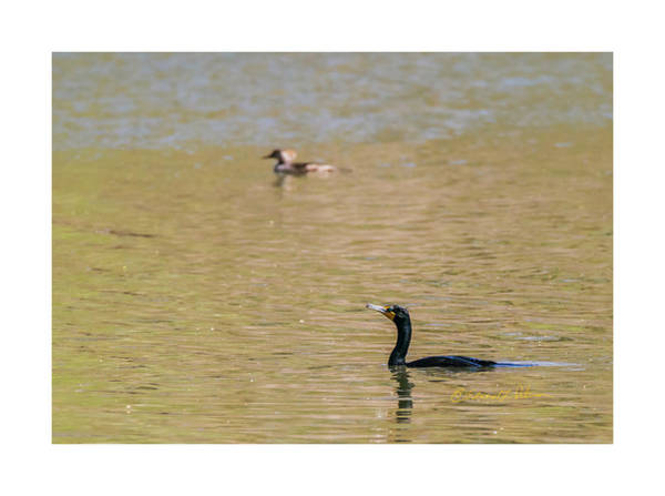 Photograph - Cormorant Swim by Edward Peterson