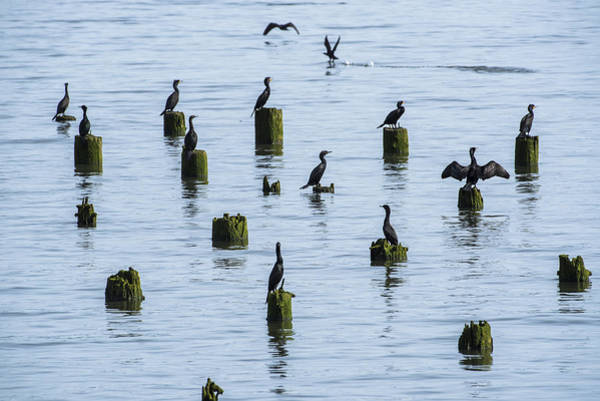 Photograph - Cormorants And Pilings by Robert Potts