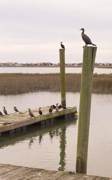 Photograph - Cormorants At Murrells Inlet In Winter by MM Anderson