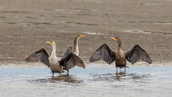 Photograph - Cormorants At The Beach by Loree Johnson