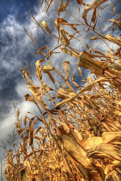 Corn Field Photograph - Corn Field by Bryan Hochman