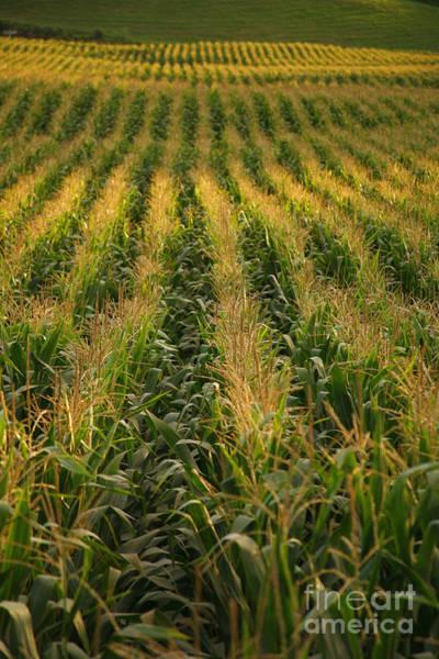 Acores Photograph - Corn Field by Gaspar Avila
