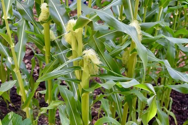 Photograph - Corn Field by Sagittarius Viking