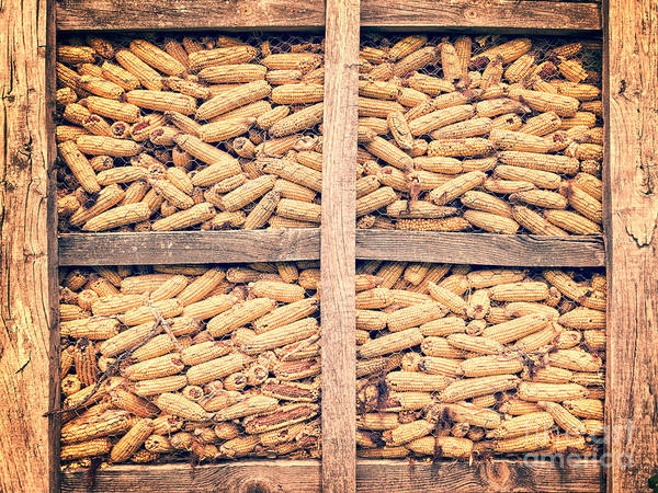 Storage Photograph - Corn For Winter by Delphimages Photo Creations