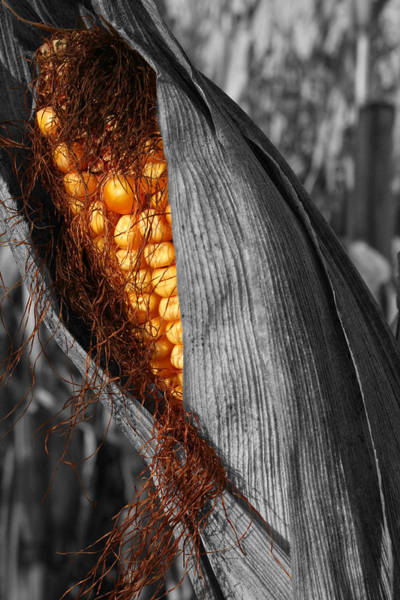 Photograph - Corn Glimmer by Dylan Punke