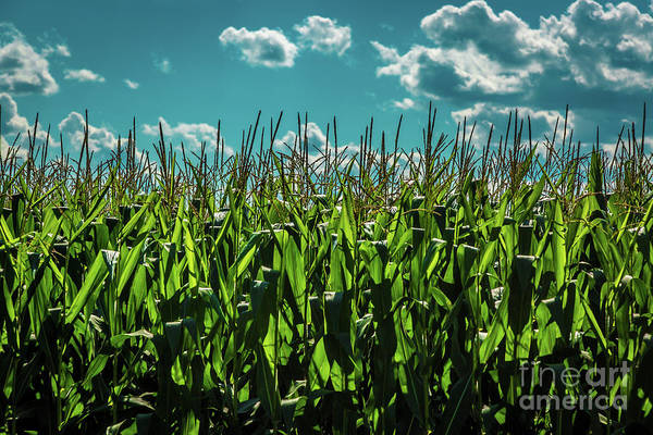Photograph - Corn In The Sunshine by Roger Monahan