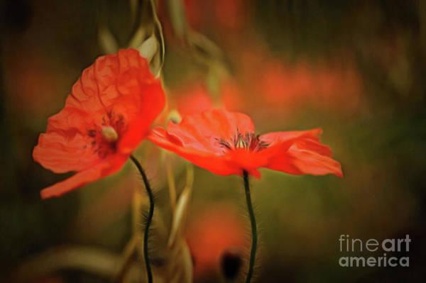 Wild Poppies Digital Art - Corn Poppy by Michal Boubin