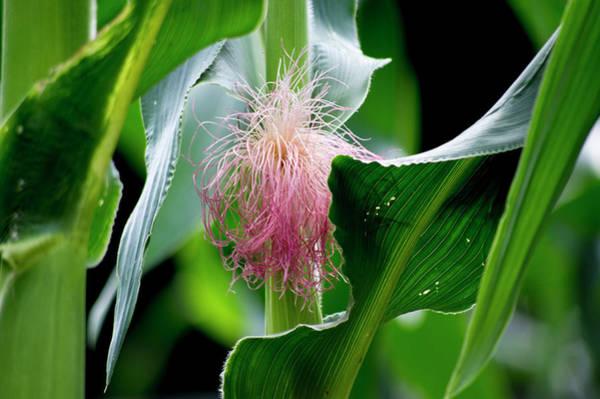 Photograph - Corn Silk 2017 1 by Buddy Scott