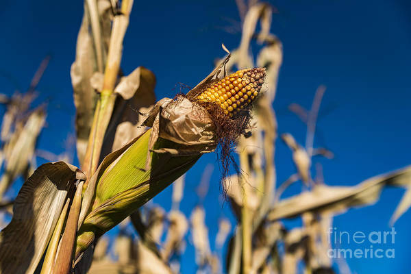 Photograph - Corn Stalk by Alissa Beth Photography