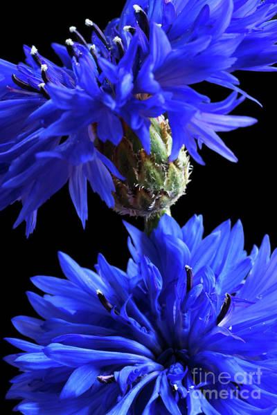 Centaurea Montana Wall Art - Photograph - Cornflower Blues by Ann Garrett