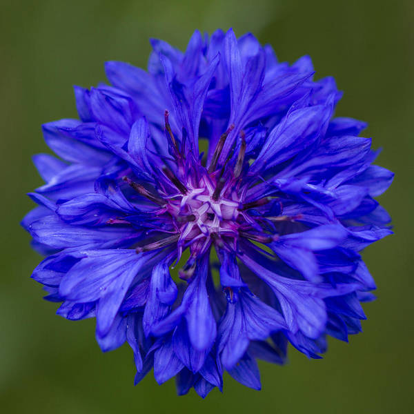 Photograph - Cornflower by Clare Bambers