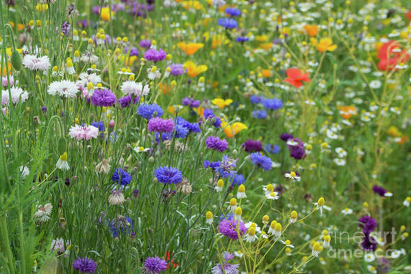 English Garden Photograph - Cornflower Summer by Tim Gainey