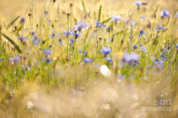 Wall Art - Photograph - Cornflowers After The Rain by Arletta Cwalina