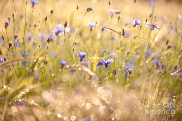 Wall Art - Photograph - Cornflowers Gleam In Sunset Light by Arletta Cwalina